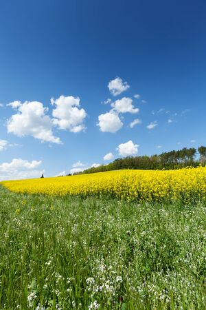 Yellow flowering rapeseed field in the springtime with blue sky and cumulus clouds Stock Photo