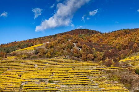 discolored: Wine growing on terraces in the Wachau with autumnally discolored leaves Stock Photo