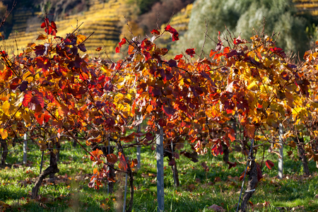 discolored: Close up of grape vine with autumnally discolored leaves