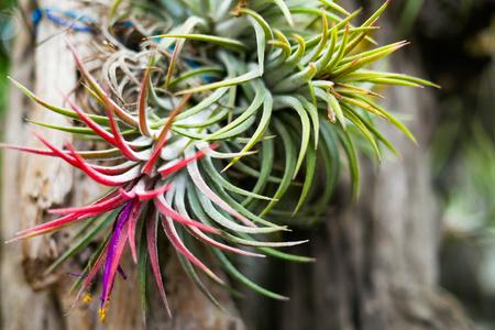 Bromeliad Flower (Aechmea Fasciata)