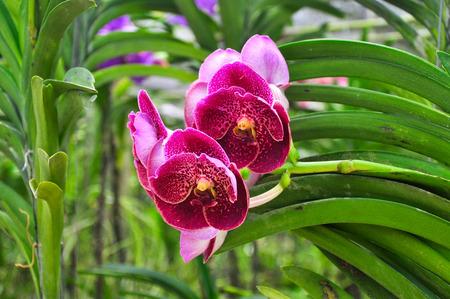 Orchid venda insignis