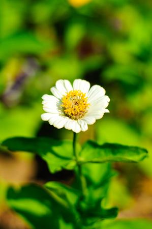 light zoom: White marigold is flower of light zoom near