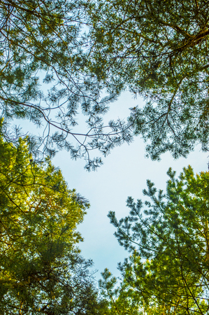 directly below: Summer forest, view from below on a clear sky