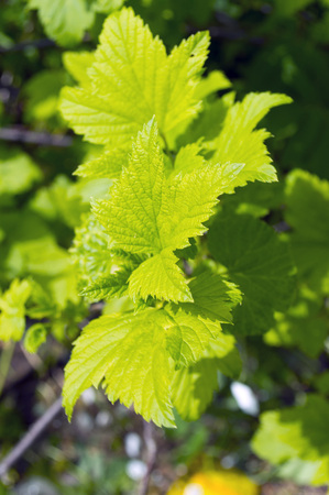 elasticity: Green leaves of raspberry in the sun