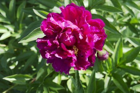 Peony in the garden in a bright pink, with a Bud Stockfoto