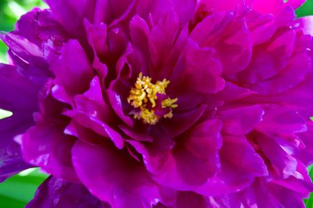 The open peony flower Stockfoto