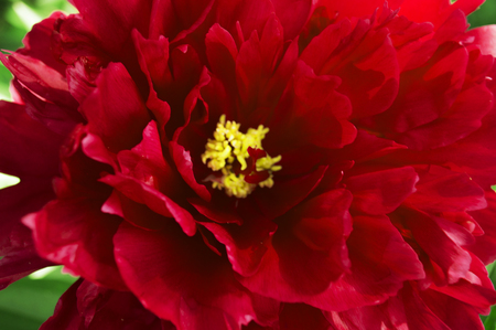 Bright, red, scarlet opened flower