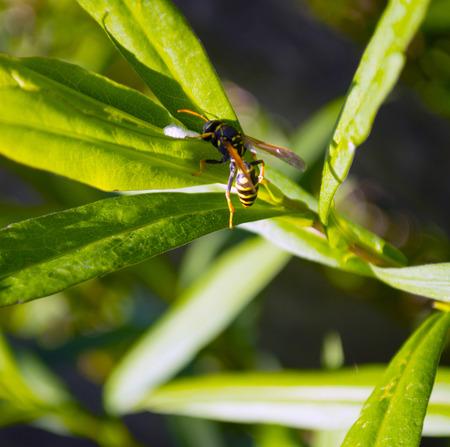 Wasp close-up op groen gras