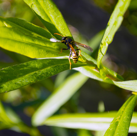 aculeata: Wasp closeup on green grass Stock Photo
