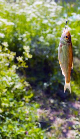 Een kleine vis die op een haak wordt gevangen, op een achtergrond van groen gras