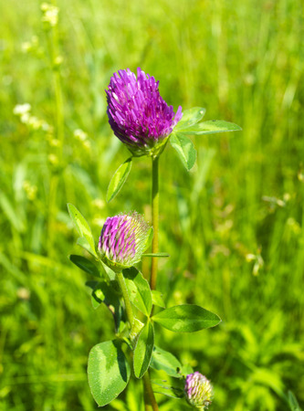Clover flowers in the sun in the field