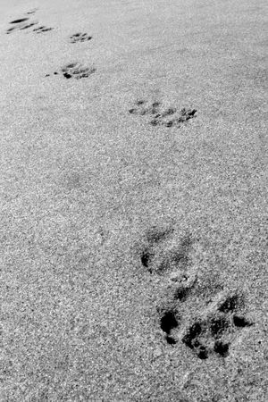 dog paw prints in sand photo