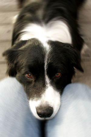 dog resting head on persons legs Stok Fotoğraf