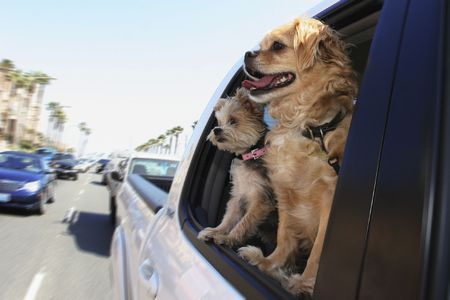 two dogs looking out car window Stock Photo