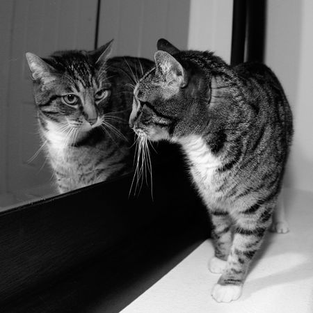 cat looking at mirror reflection