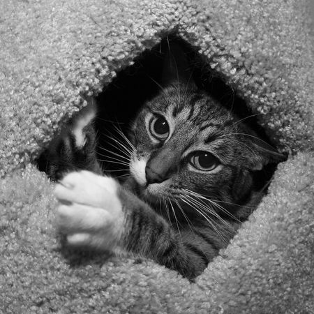 cat reaching out from hole Stock Photo