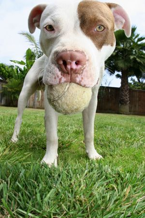 Dog holding ball in mouth