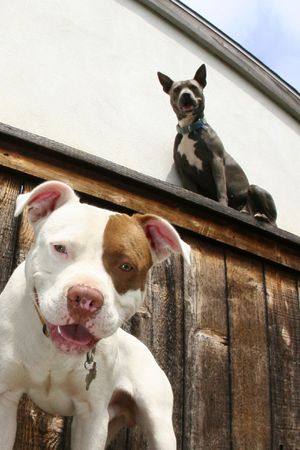 two dogs, one on fence, one below