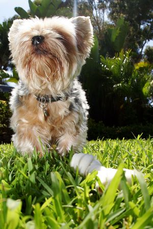 dog in grass with bone looking up Stock Photo