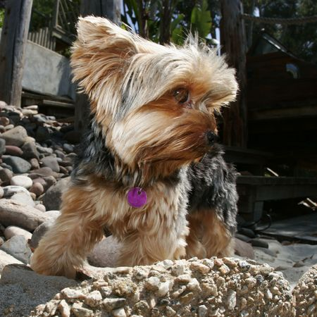 dog rock: dog standing on rock ledge