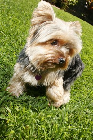 dog sitting in grass Banco de Imagens