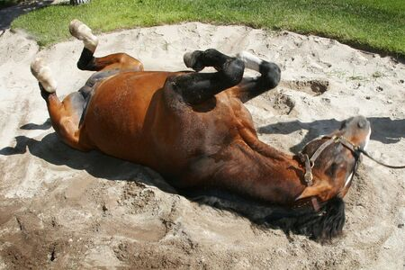 sand pit: horse rolling in sand pit Stock Photo