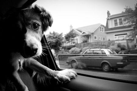 dog by car window Standard-Bild