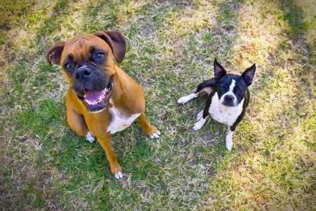 Boston Terrier and Boxer in grass