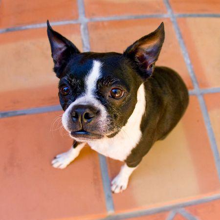Boston Terrier Stock Photo