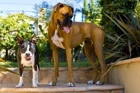 Boston Terrier and Boxer Stock Photo