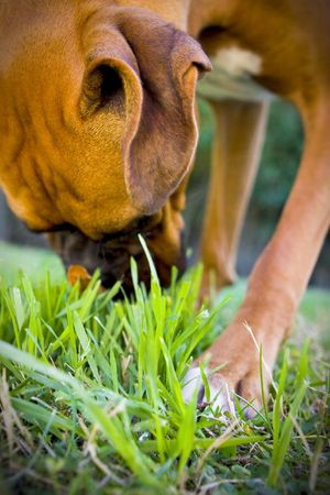 Boxer sniffing grass Imagens