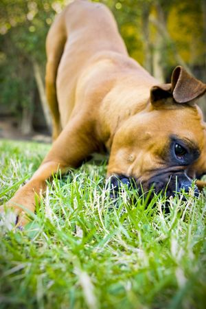 Boxer in grass Imagens - 3814340