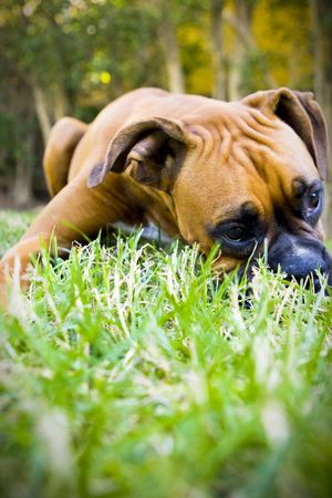 Boxer in grass
