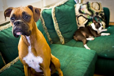 Boxer and Boston Terrier on couch Stock Photo