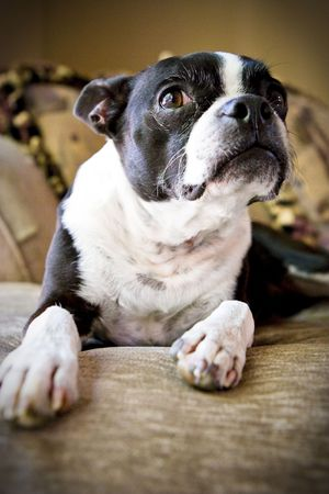 Boston terrier looking up from couch