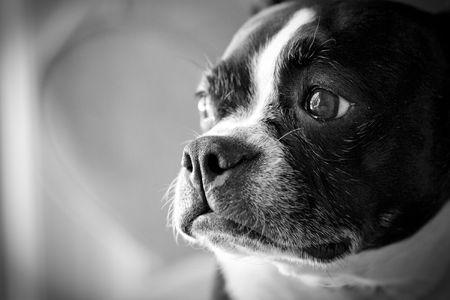 Boston Terrier looking out window
