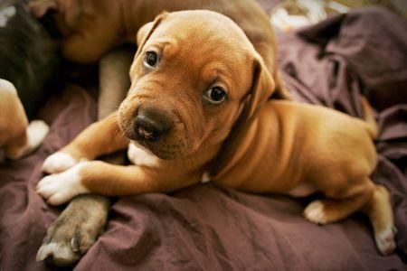 Pit Bull pup on blanket
