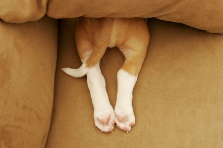 tails: Pit Bull pup on bed Stock Photo