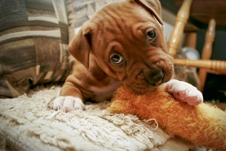 Pit Bull pup chewing toy