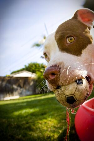 dog with soccer ball toy in mouth Standard-Bild