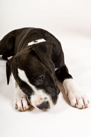 black and white pit bull: black and white puppy chewing orange ball