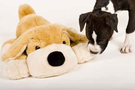 black and white pit bull: black and white puppy with big stuffed dog