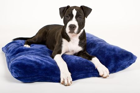 black and white puppy on blue pillow