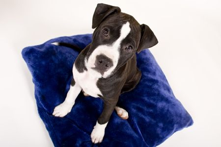 black and white puppy on blue pillow photo
