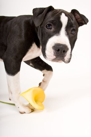 black and white pit bull: black and white puppy playing with yellow flower