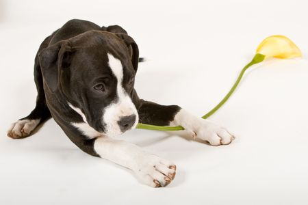 black and white pit bull: black and white puppy chewing yellow flower stem Stock Photo