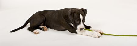 black and white puppy chewing flower stem