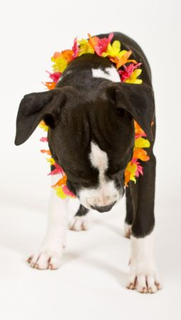 black and white puppy wearing lei