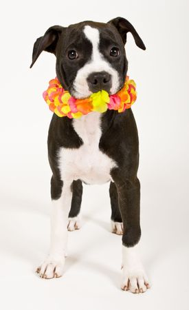 black and white puppy wearing lei photo
