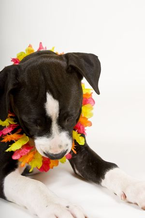black and white pit bull: black and white puppy wearing lei